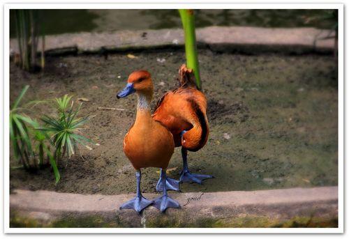 Bica_casal