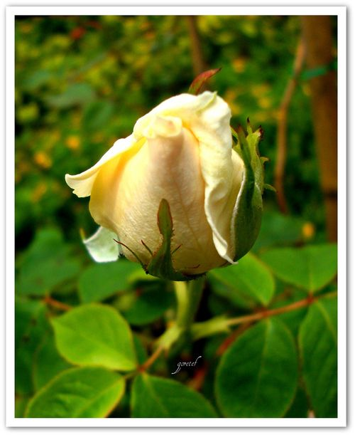 Flor_jardim forte copacabana
