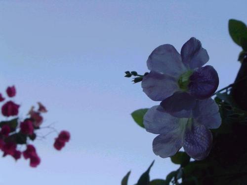 Duas_violetas_fev2004