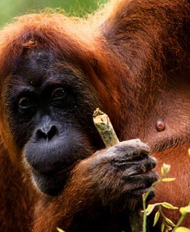 Animais_orangotango